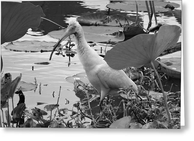 Ibis Greeting Cards - American White Ibis Black And White Greeting Card by Dan Sproul