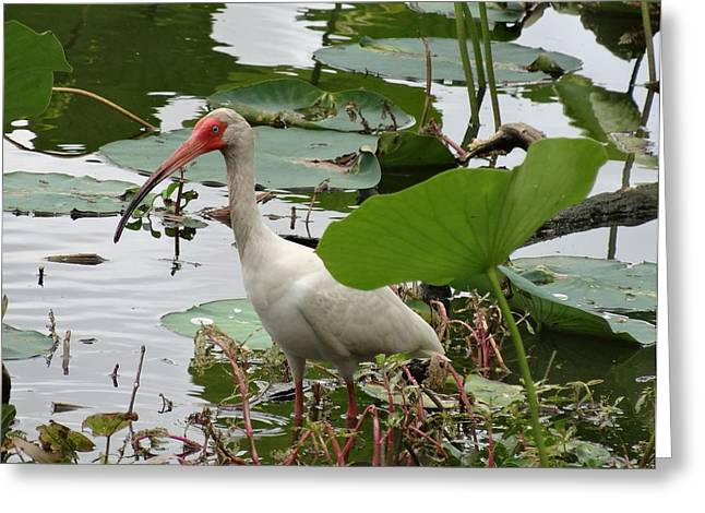 D Wade Greeting Cards - American White Ibis In Brazos Bend Greeting Card by Dan Sproul