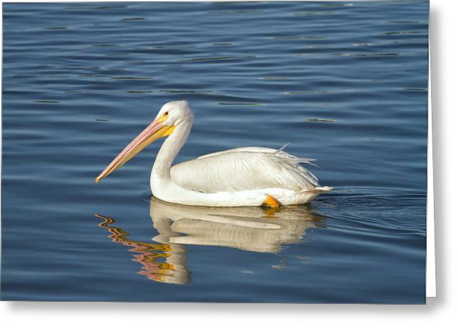 Seabirds Greeting Cards - American White Pelican Greeting Card by Kim Hojnacki