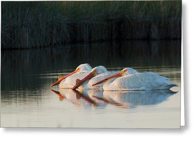 American White Pelicans Greeting Card by Ken Archer