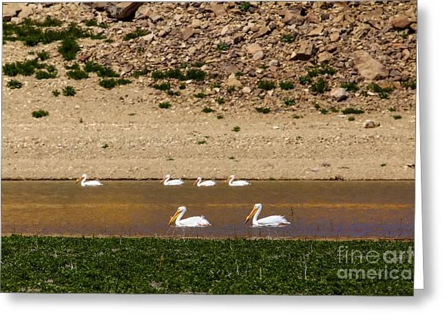 American White Pelican (pelecanus Erythrorhynchos) Greeting Cards - American White Pelicans Greeting Card by Robert Bales