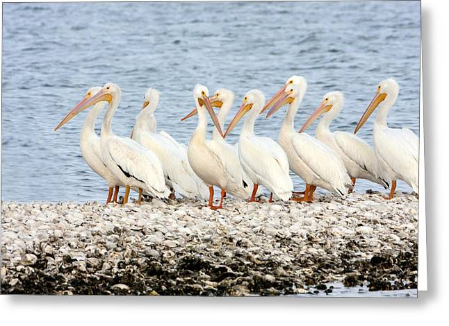 Flying White Pelicans Greeting Cards - American White Pelicans Greeting Card by Susan Candelario