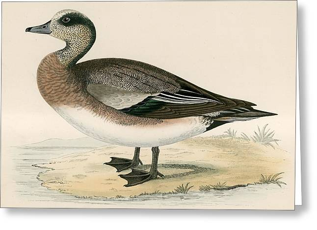 Hunting Bird Photographs Greeting Cards - American Wigeon Greeting Card by Beverley R. Morris