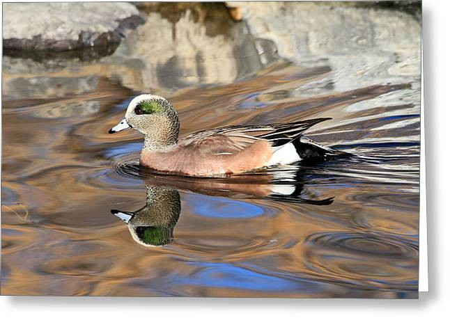Water Fowl Greeting Cards - American Wigeon Greeting Card by Donna Kennedy