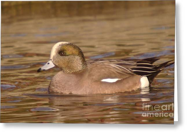 Water Fowl Greeting Cards - American Wigeon Greeting Card by Jeff  Swan