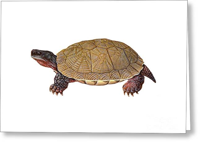 Wood Turtle Greeting Cards - American Wood Turtle Greeting Card by Carlyn Iverson