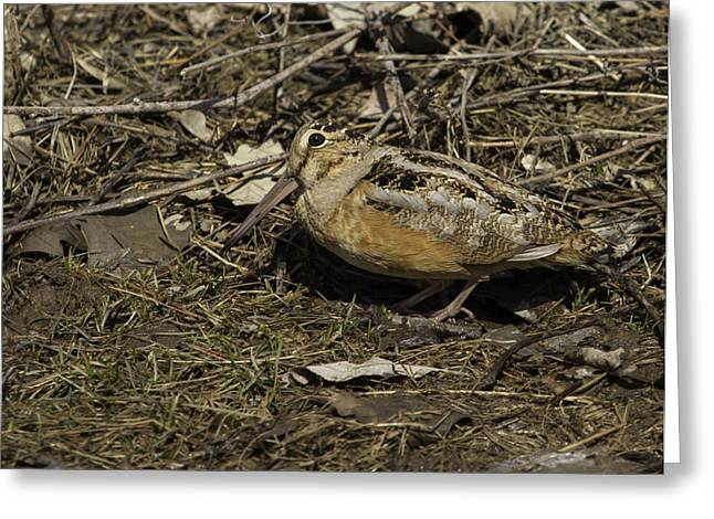 Woodcock Greeting Cards - American Woodcock 1 Greeting Card by Thomas Young