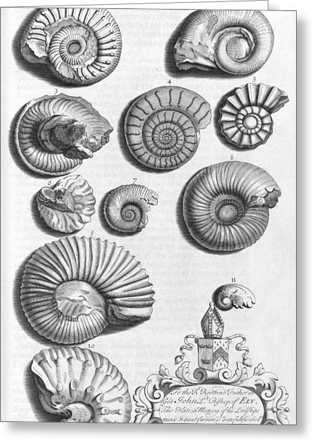 Northamptonshire Greeting Cards - Ammonite fossils, 18th century Greeting Card by Science Photo Library