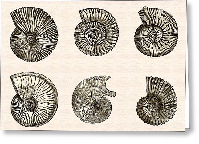 Geology Drawings Greeting Cards - Ammonites Greeting Card by Phil Cardamone