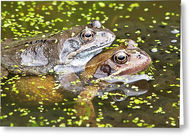 Love The Animal Greeting Cards - Amorous Frogs Greeting Card by Gill Billington
