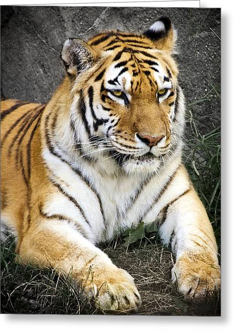 Felines Photographs Greeting Cards - Amur Tiger Greeting Card by Adam Romanowicz