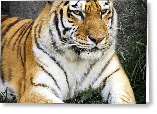 Amur Tiger Greeting Card by Adam Romanowicz