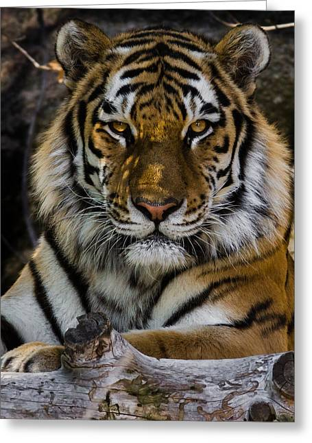 Wildcats Greeting Cards - Amur Tiger Watching You Greeting Card by Ernie Echols
