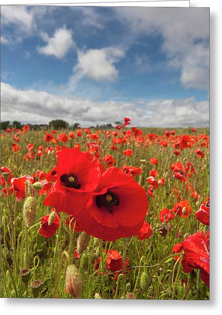 An Abundance Of Red Poppies In A Field Greeting Card by John Short