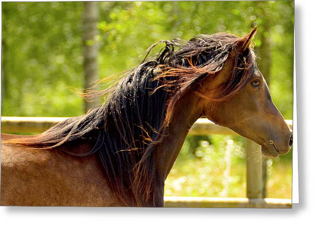 Quarter Horse Greeting Cards - An Arabian horse playing Greeting Card by Toppart Sweden