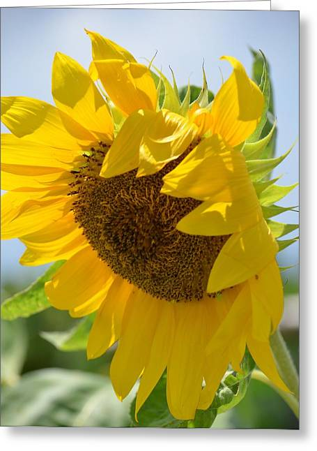 Maria Urso Greeting Cards - An August Sunflower -2013 Greeting Card by Maria Urso