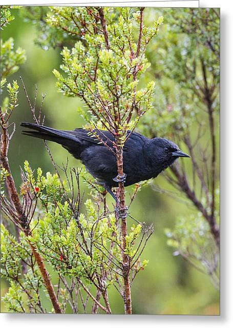 Temperate Rain Forest Greeting Cards - An Austral Blackbird Greeting Card by Tim Grams