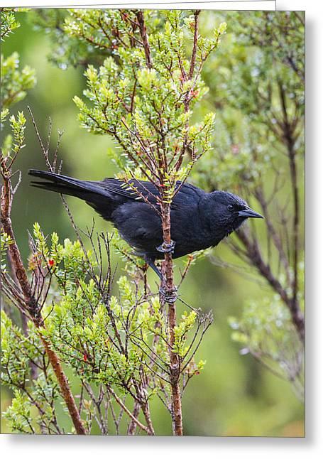An Austral Blackbird Greeting Card by Tim Grams