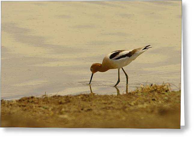 Migratory Bird Greeting Cards - An Avocet Has A Drink Greeting Card by Jeff  Swan