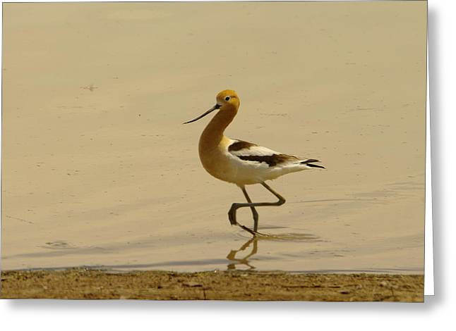 Migratory Bird Greeting Cards - An Avocet Wading The Shore Greeting Card by Jeff  Swan
