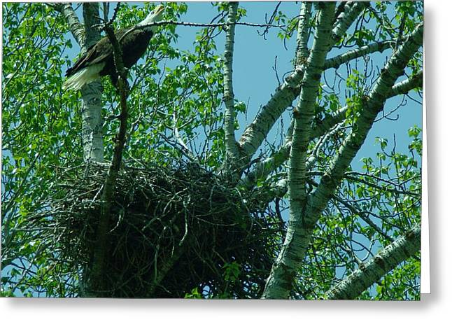 Eaglet Greeting Cards - An Eagle Calls Out Greeting Card by Jeff  Swan