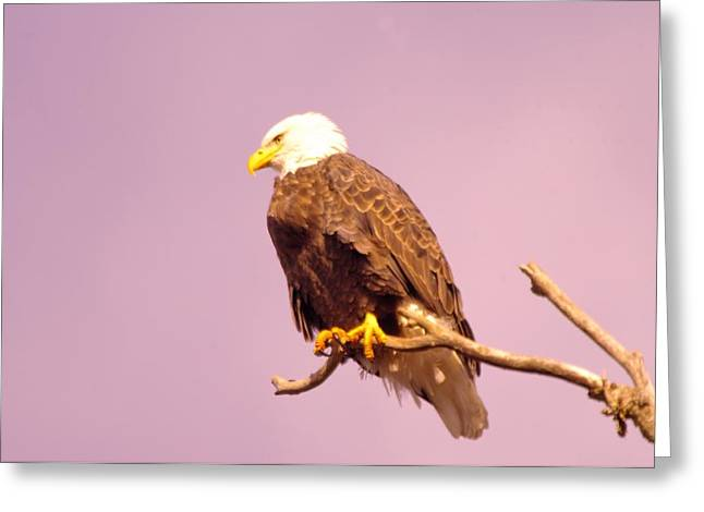 Eagle Feathers Greeting Cards - An Eagle Hanging Out Greeting Card by Jeff  Swan