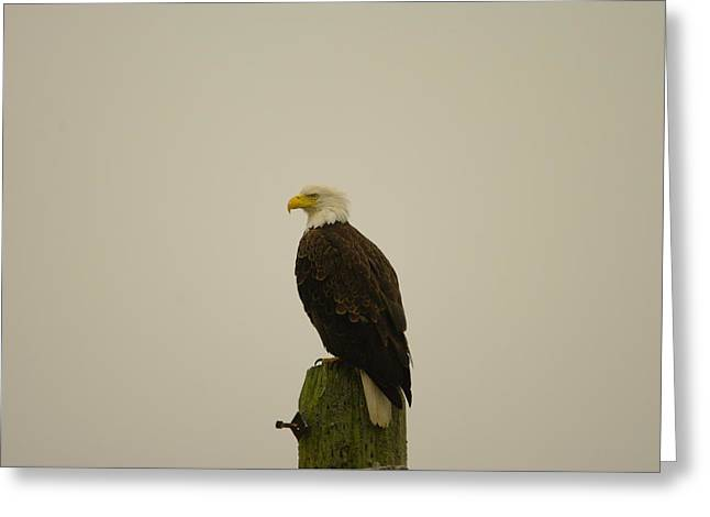 An Eagle Perched Greeting Card by Jeff Swan