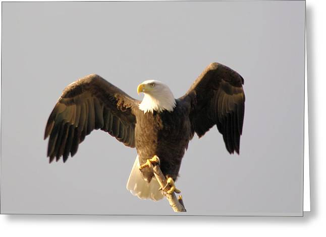 Living Things Greeting Cards - An Eagle Posing  Greeting Card by Jeff  Swan