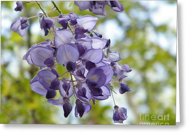 Wisteria In Bloom Greeting Cards - An Even Prettier Wisteria Greeting Card by Cheryl Hardt Art