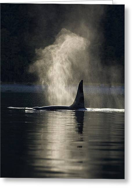 Inside Passage Greeting Cards - An Orca Whale Exhales Blows Greeting Card by John Hyde