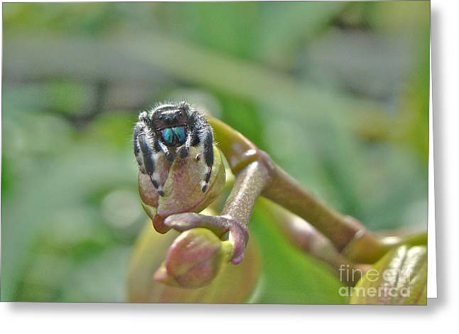An Orchid For M'lady - Jumping Spider - Phidippus Audax Greeting Card by Mother Nature