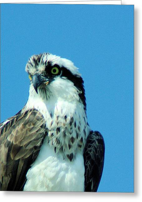 Living Things Greeting Cards - An Osprey Portrait Greeting Card by Jeff  Swan