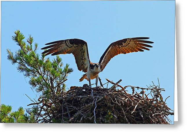 Sea Animals Greeting Cards - An Osprey Warning Greeting Card by Debbie Oppermann