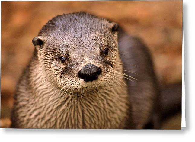 Joshua Fisher Greeting Cards - An Otter Portrait Greeting Card by Joshua McCullough