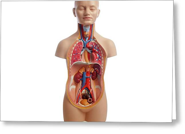 Anatomical Teaching Model Greeting Card by Science Photo Library
