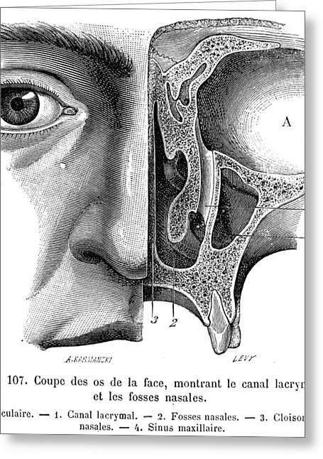 Tears Greeting Cards - Anatomy: Nasal Cavity Greeting Card by Granger