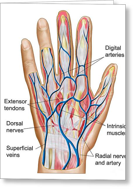 Digital Artery Greeting Cards - Anatomy Of Back Of Human Hand Greeting Card by Stocktrek Images