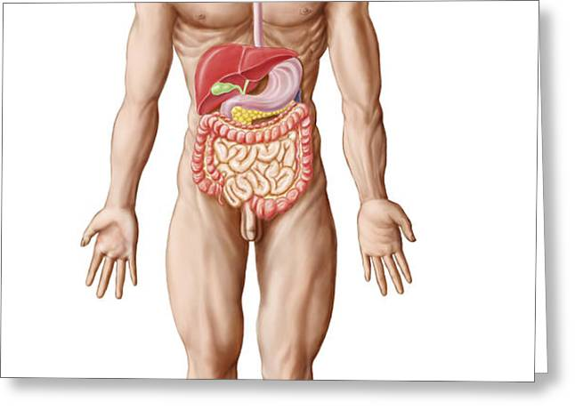 Anatomy Of Human Digestive System, Male Greeting Card by Stocktrek Images