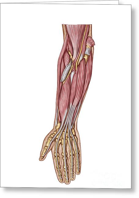 Flexor Digitorum Greeting Cards - Anatomy Of Human Forearm Muscles, Deep Greeting Card by Stocktrek Images