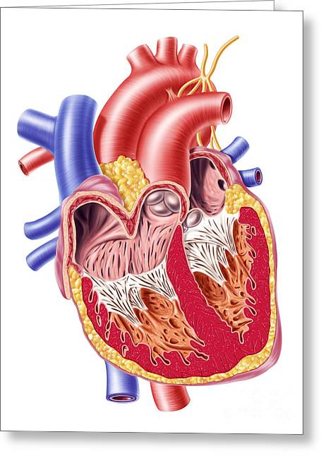 Ventricles Greeting Cards - Anatomy Of Human Heart, Cross Section Greeting Card by Leonello Calvetti