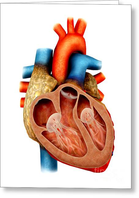 Ventricles Greeting Cards - Anatomy Of Human Heart, Cross Section Greeting Card by Stocktrek Images