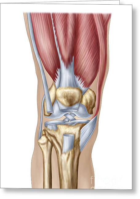 Human Joint Greeting Cards - Anatomy Of Human Knee Joint Greeting Card by Stocktrek Images