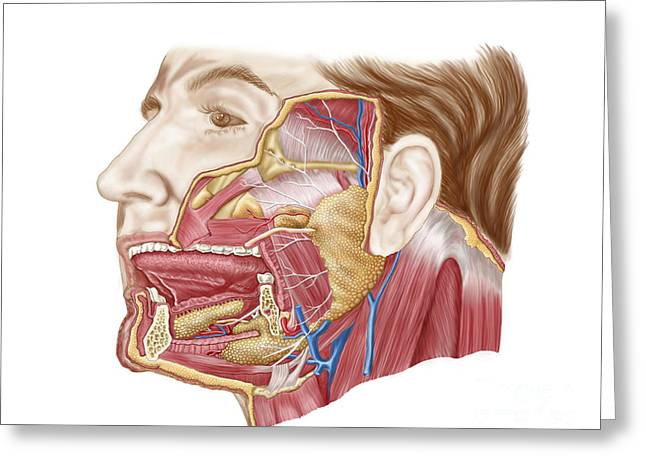 Facial Artery Greeting Cards - Anatomy Of Human Salivary Glands Greeting Card by Stocktrek Images