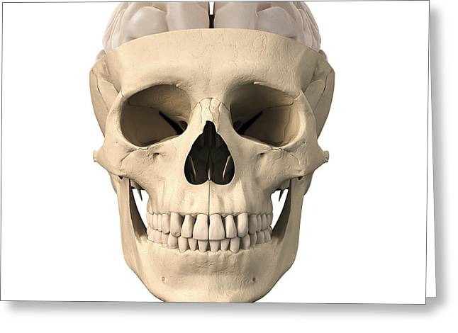 Anatomy Of Human Skull, Cutaway View Greeting Card by Leonello Calvetti