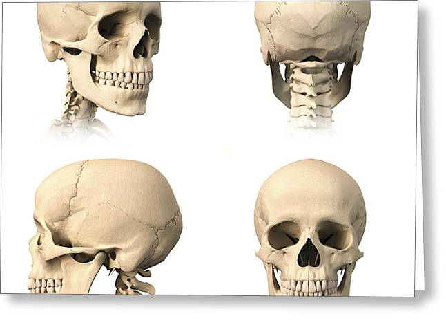 External Skeleton Greeting Cards - Anatomy Of Human Skull From Different Greeting Card by Leonello Calvetti