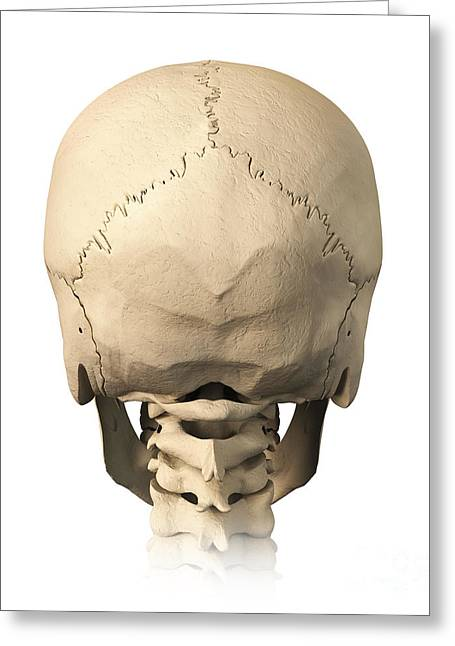 External Skeleton Greeting Cards - Anatomy Of Human Skull, Rear View Greeting Card by Leonello Calvetti