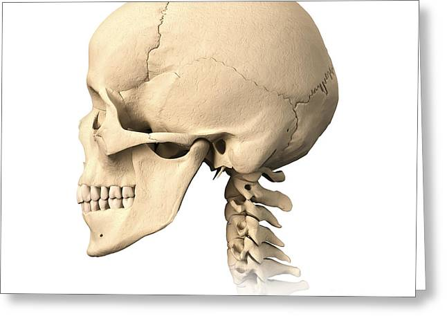 Anatomy Of Human Skull, Side View Greeting Card by Leonello Calvetti