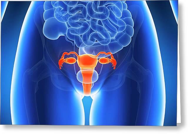 Anatomy Of Human Uterus Greeting Card by Sebastian Kaulitzki