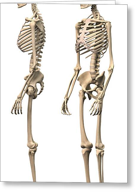 Costae Fluitantes Greeting Cards - Anatomy Of Male Human Skeleton, Side Greeting Card by Leonello Calvetti