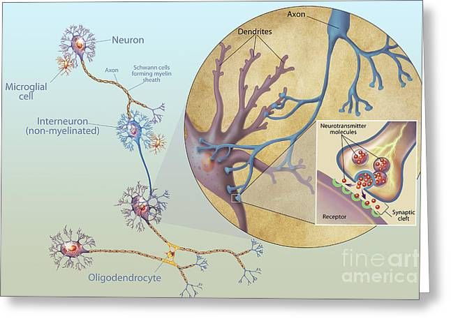 Bipolar Greeting Cards - Anatomy Of Neurons Greeting Card by Carlyn Iverson